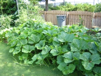 Pumpkin vines in garden.
